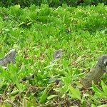 Iguanas enjoying the sun at RIF Fort