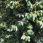 One of Hilo Coffee Mills coffee trees