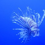 Lion Fish, and that's the truth
