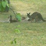 Kangaroos lounging