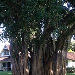 large banyan tree on the lawn