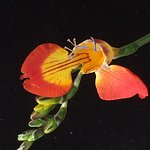 Unique Freesia Flower I photographed