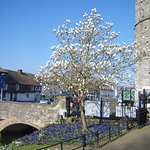 In Canterbury's beautiful Westgate Gardens the Magnolias are just coming into flower!