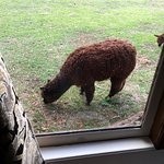 An Alpaca grazing outside out window.