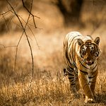 Tiger seen on our safari into the Ranthambhore reserve