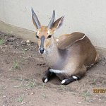 Duiker in the grounds