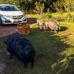 The resident pet pigs.