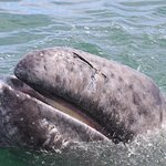 Baby whale shows its baleen