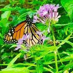 A beautiful Monarch in the butterfly garden...