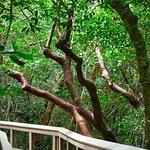 A Gumbo Limbo tree along the trail...