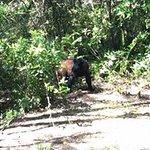 Baby black bear seen on swamp buggy ride.