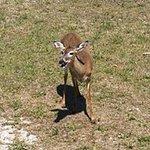 Mama deer seen on swamp buggy ride.