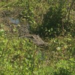 Foto di Alligator's Unlimited  Airboat Nature Tours