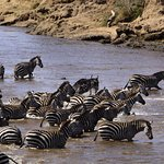 Serengeti Migration - Zebras on the move