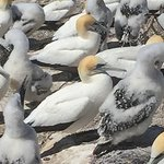 Newly hatched gannets