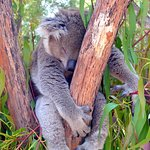 Close encounter with a koala
