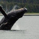 Humpback whale calf ( 20 feet) in a breach.