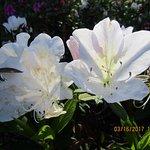 Delicate azaleas