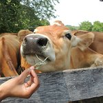Our herd of Jersey cows provide the milk to make our ice cream.