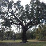 Constitution Oak