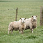 Animals - the obligatory sheept.