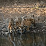 Mother Tiger and cubs