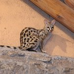 Genet on the rafters.