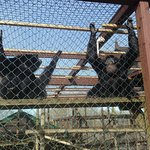 Siamang Gibbons - very loud in the morning!