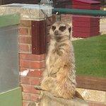 Meerkats - simples!