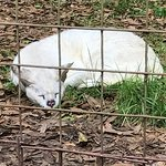 Albino Serval without a nose due to cancer surgery- she is fine!