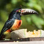 Collared Aracari, attracted to the fruit on the deck.