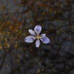drifting purple blossom
