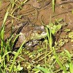 bullfrog in the mud