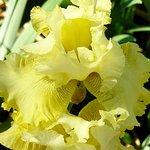 Iris in the Shakespeare Garden