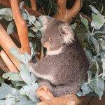 Koala at Bonorong Wildlife Sanctuary