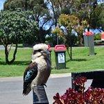 This kookaburra was totally unafraid!