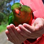 Lorikeets will fly to you for birdseed
