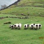 les moutons de Tom
