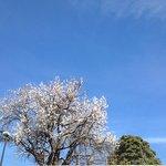 Amandier en fleurs à Laudun en février