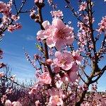 Pêchers en fleurs à Laudun début mars