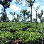 Eucalyptus trees and tea plants.