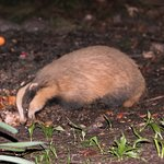 Young badger feeding