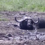A buffalo taking a bath in the waterhole in front of the lodge