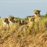 Cheetah and her cubs on the lookout