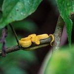 golden viper