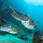 Cuttlefish at Daymaniyat Islands