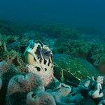 Hawksbill turtle at Daymaniyat Islands