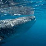 Whale shark at Daymaniyat Islands