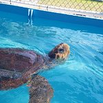 One of the loggerhead turtles that is being rehabilitated at the Turtle Hospital.