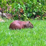A capybara quietly munching grass in the Botanic Gradens, Rio creates a stir with the locals.